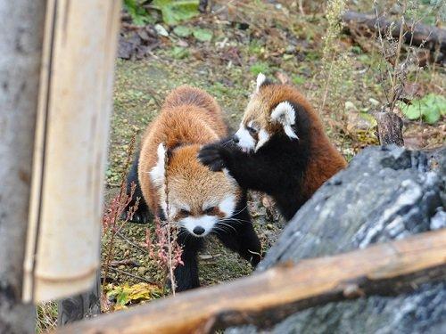 11月3日 円山動物園 レッサーパンダたち