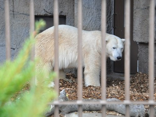 11月3日 円山動物園 ホッキョクグマたち