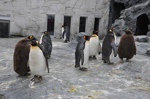 12月3日 旭山動物園 キングペンギンのヒナたち