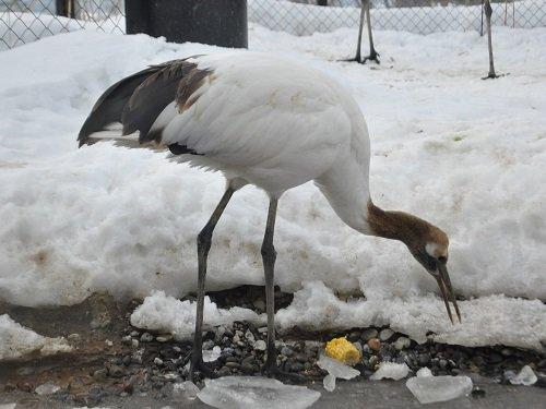 2月8日 旭山動物園 タンチョウ コタン