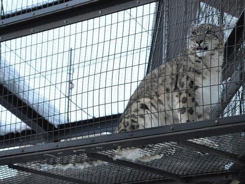 2月10日と11日 雪あかりの旭山動物園 ユキヒョウの鳴き声
