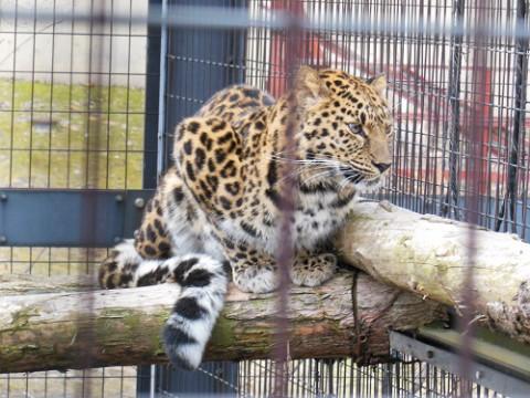 4月5日 旭山動物園 アムールヒョウ ロシアからやってきたメス