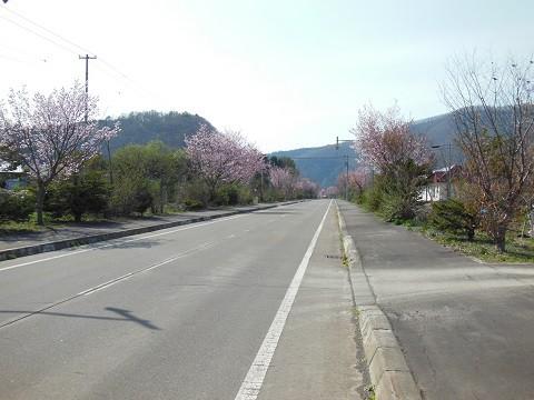5月2日 滝上町 濁川方面の桜とコブシ ちょっとだけ錦仙峡のコブシ
