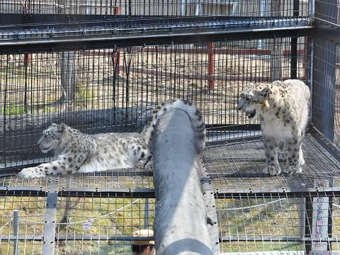 4月29日 旭山動物園 ユキヒョウ ジーマとヤマト