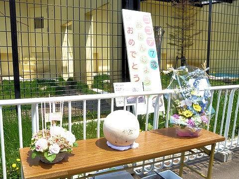 5月24日 釧路市動物園 アムールトラ ココアのお誕生会