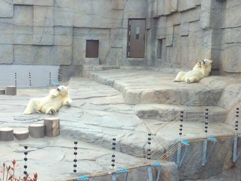 懐かしい写真シリーズ・・・円山動物園 ホッキョクグマ 2年前のお姉様