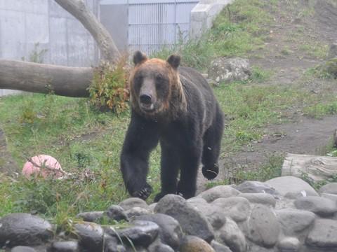 ちょっと前ですが・・・10月4日 円山動物園 エゾヒグマ 大(ダイ)