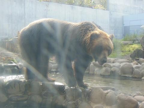 ちょっと前ですが・・・10月15日 円山動物園 エゾヒグマ とわ