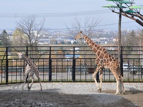 10月27日 旭山動物園 アミメキリン ゲンキと来園したばかりのメス