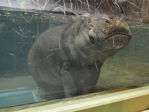 旭山 動物園 カバ