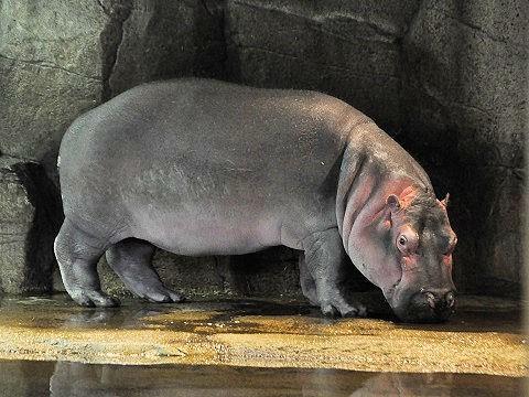 11月3日 夏期営業最終日の旭山動物園 カバ 旭子