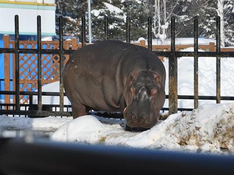 1月16日 旭山動物園 カバの百吉と旭子 イボイノシシのドゥニア