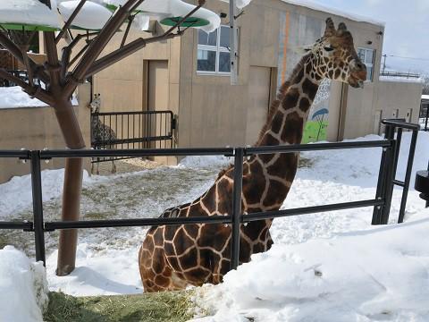 2月9日 旭山動物園 きりん舎・かば館