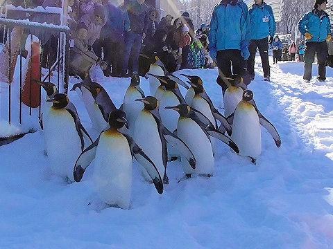 ちょっと懐かしい・・・2015年12月22日 旭山動物園 ペンギンの散歩
