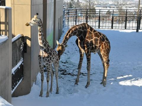 ちょっと懐かしい・・・2015年12月22日 旭山動物園 アミメキリン
