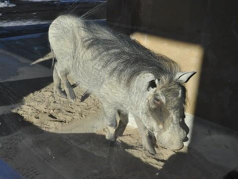 ちょっと懐かしい・・・2015年12月22日 旭山動物園 カバ館の仲間たち