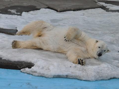 ちょっと懐かしい・・・2月18日 釧路市動物園 ホッキョクグマ ツヨシ
