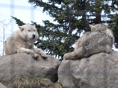 4月5日 旭山動物園 シンリンオオカミ ちょっとしつこいフミちゃん