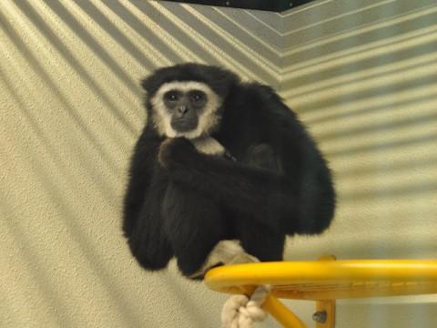 4月5日 旭山動物園 シロテテナガザル 冬の間は屋内展示