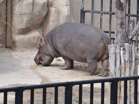 4月5日 旭山動物園 カバ