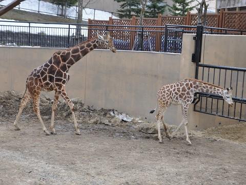 4月5日 旭山動物園 アミメキリン もぐもぐタイム