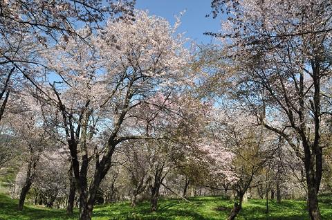 5月13日 滝上町 濁川公園の桜を見に行きました。