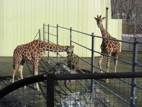 ちょっと懐かしい・・・2月18日 釧路市動物園 キリンなど
