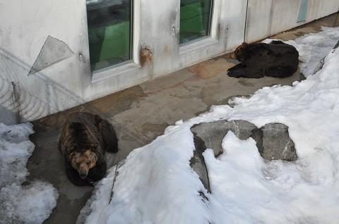 懐かしい写真・・・2月18日 釧路市動物園 エゾヒグマとエゾクロテン