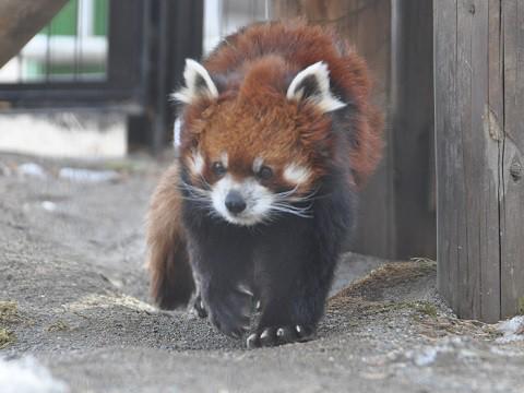 懐かしい写真・・・2月18日 釧路市動物園 レッサーパンダたち