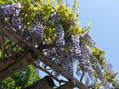 6月11日 遠軽町丸瀬布 まるせっぷ藤園へ行きました。