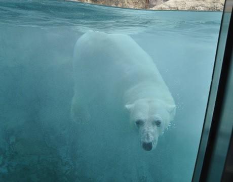 懐かしい写真・・・5月24日 旭山動物園 ホッキョクグマ