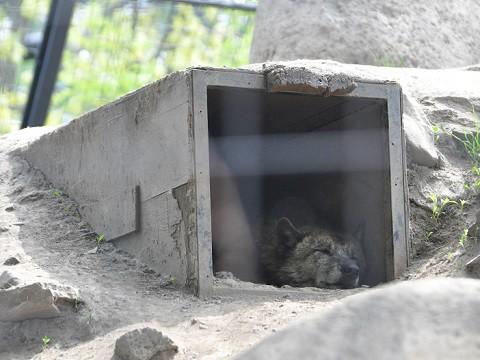 懐かしい写真・・・5月24日 旭山動物園 シンリンオオカミ