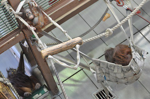 懐かしい写真・・・5月24日 旭山動物園 オランウータン