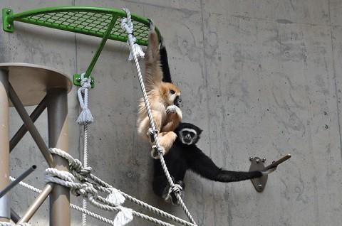 懐かしい写真・・・5月24日 旭山動物園 シロテテナガザル
