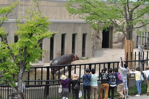 懐かしい写真・・・5月24日 旭山動物園 カバ