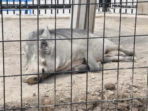 懐かしい写真・・・5月24日 旭山動物園 イボイノシシとダチョウペア