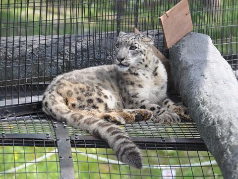 ちょっと懐かしい写真・・・7月9日 旭山動物園 ユキヒョウ親子