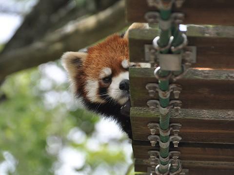 懐かしい写真・・・7月9日 旭山動物園 レッサーパンダ