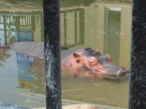 懐かしい写真・・・7月9日 旭山動物園 きりん舎・かば館