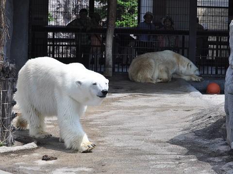懐かしい写真・・・7月9日 旭山動物園 ホッキョクグマ