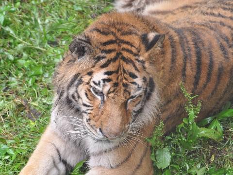 ちょっと懐かしい写真・・・7月19日 旭山動物園 トラ のんなど