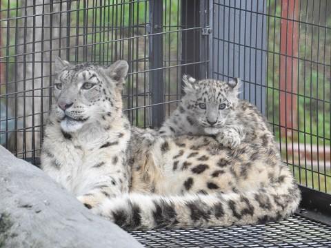 懐かしい写真・・・7月19日 旭山動物園 ユキヒョウ ジーマ親子