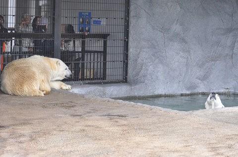 懐かしい写真・・・7月19日 旭山動物園 ホッキョクグマたち
