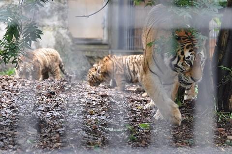 懐かしい写真・・・7月19日 旭山動物園 アムールトラ ザリア親子