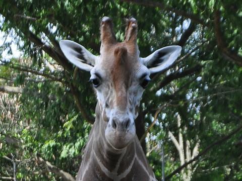 2016年8月 東北旅行2日目 八木山動物公園 アミメキリン