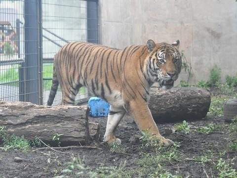 懐かしい写真・・・9月13日 旭山動物園 アムールトラ キリルとのん