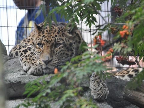 懐かしい写真・・・2016年9月13日 旭山動物園 もうじゅう館のトラ以外
