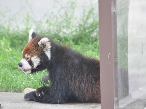 懐かしい写真・・・2016年9月13日 旭山動物園 レッサーパンダたち