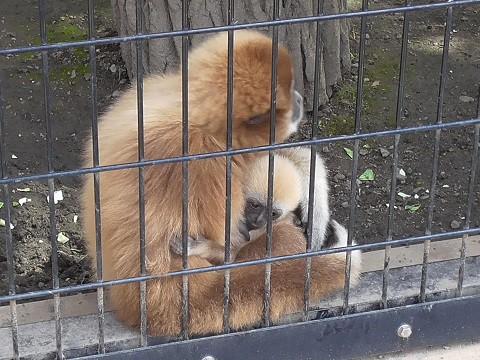 懐かしい写真・・・2016年9月13日 旭山動物園 シロテテナガザル
