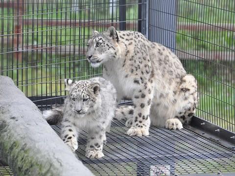 懐かしい写真・・・旭山動物園 ユキヒョウ ジーマとリヒト